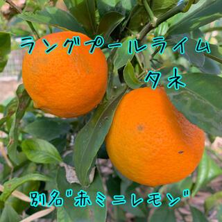ミニ赤レモンの種5粒(その他)