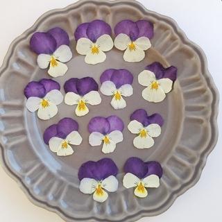 ビオラ  押し花  (12枚+オマケ2枚)(ドライフラワー)