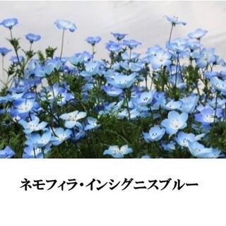 寒冷地の春まき花の種  ネモフィラ・インシグニスブルー 50(その他)
