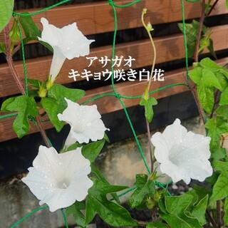 春まき花の種  アサガオ「キキョウ咲き白花」30粒 清楚な白いアサガオ(その他)