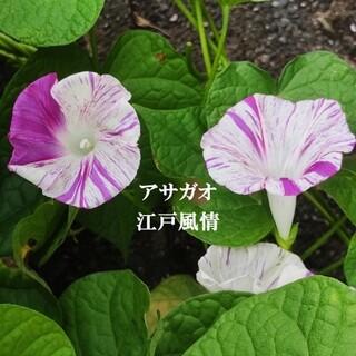 春まき花の種 あさがお「江戸風情」50粒(その他)