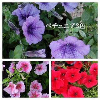 春まき花の種 ペチュニア3色を合計50粒(その他)