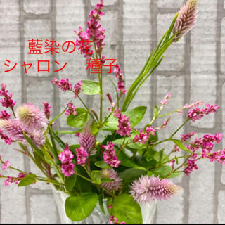 藍染の花 シャロン 種子 種 50粒+50粒(その他)