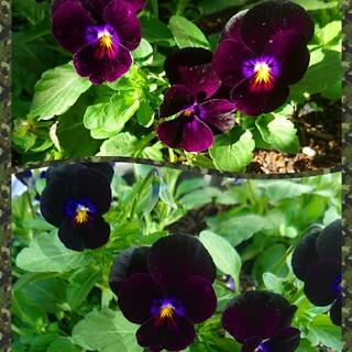 ビオラ 種 黒 黒紫 ブラック ベリー ブラックベリー 園芸 ガーデニング 花(プランター)