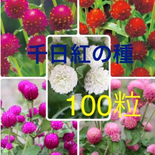 千日紅の種 5種(その他)