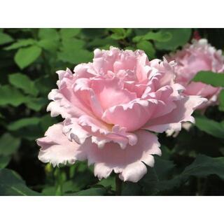 ピンク バラ 苗 薔薇苗(その他)
