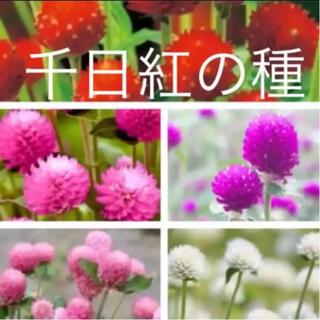 千日紅の種 5種類 人気色あり❣️即購入歓迎❣️(その他)