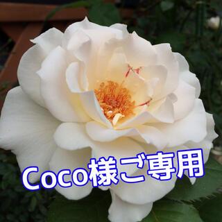 Coco様ご専用 バラ苗(その他)