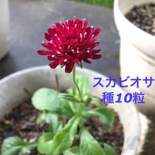 スカビオサ(マツムシソウ)種10粒(その他)