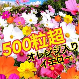 最安値 彩り コスモス 5色ミックス 種500粒超!!!(プランター)