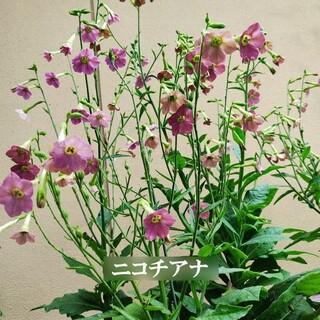 春まき花の種 「ニコチアナ」100粒 シックな大人色(その他)