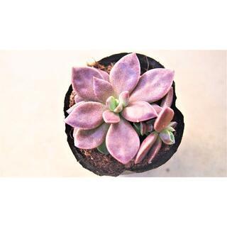 インディカ仔付き 抜き苗 オマケ付き 紅葉する多肉植物 紫 茶(その他)