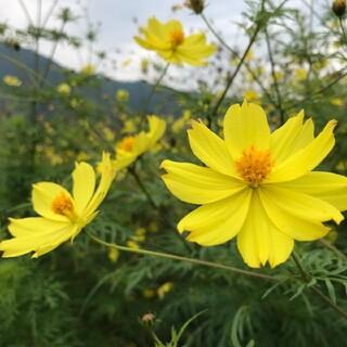 【お世話いらず・こぼれ種で毎年開花!】イエローコスモスの種 たっぷり2g(その他)