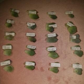 多肉植物 葉挿し用  2枚づつ20種類(その他)