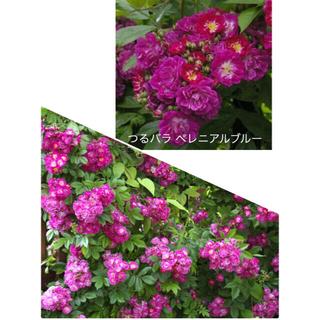 バラ苗 つるバラ ペレニアルブルー 返り咲き(その他)