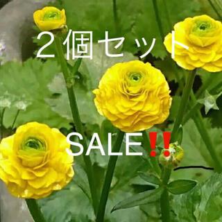 ★原種ラナンキュラスの苗2個SALE‼️(その他)