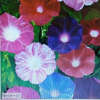 花の種        朝顔大輪咲き7品種ミックス      50粒(その他)