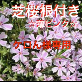 ☆今春に増えて咲く❣️根付き苗☆芝桜☆薄ピンク☆初心者向け☆(プランター)