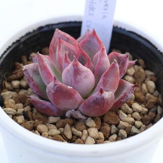 多肉植物 韓国苗 agavoides cv Black swan(その他)