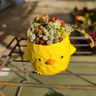 多肉植物 寄せ植え チマ寄せ 鳥🐦️鉢 もりもり💪(プランター)