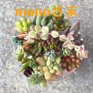 多肉植物 ❁ カット苗詰め合わせ・ピンクベリーin(*ˊ˘ˋ*)♪(その他)