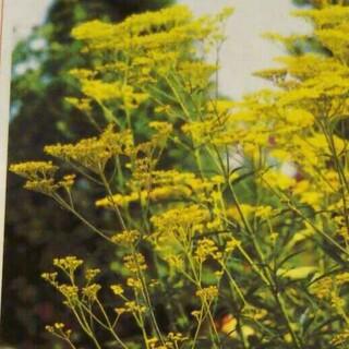 オミナエシの種 100粒以上(その他)
