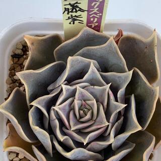 ミックスベリア 藤紫 おらいさん苗 札付き 多肉植物(その他)