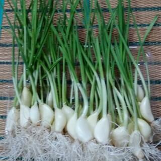 発芽ニンニク‼️(200本)(野菜)