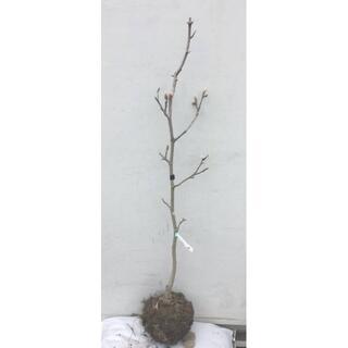 《現品》モクレン イエローリバー 樹高1.1m(根鉢含まず)08【黄花/苗木】(その他)