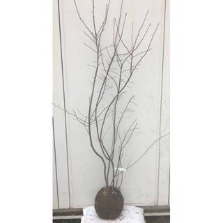 《現品》ジューンベリー 株立ち 樹高1.8m(根鉢含まず)47【果樹苗木/植木】(その他)