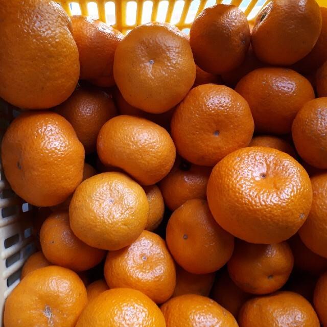 蒲郡みかん 10kg 送料無料 青島みかん 訳あり 食品/飲料/酒の食品(フルーツ)の商品写真