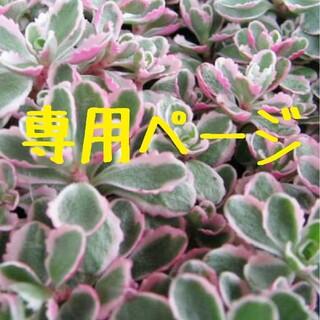 ブー様専用♥雪つぼみ他 葉挿し♥多肉植物♥おらいさん苗 ミックスベリア(その他)