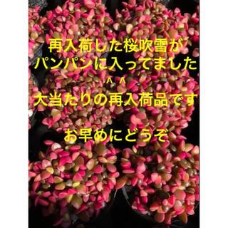 再入荷しました♪ アナカンプロセス 桜吹雪 ミニミニ群生株2pot以降600円(その他)