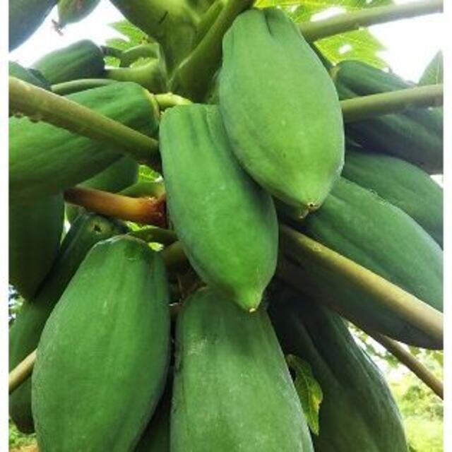 R『青パパイヤ 5キロ』島野菜 タイアジア食材 グリーンパパイヤ 食品/飲料/酒の食品(野菜)の商品写真