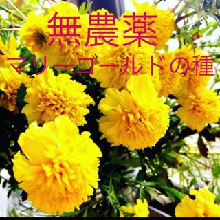 無農薬マリーゴールドの種R2年秋産 50粒 花の種(野菜)