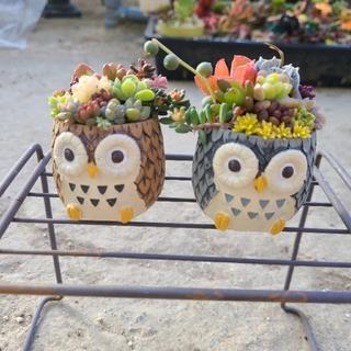 多肉植物 まこと様専用 フクロウ鉢セット(その他)