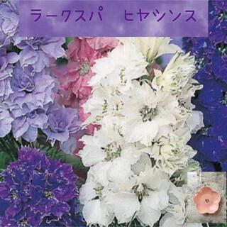 ヒヤシンス咲きで豪華♡『ラークスパ・ヒヤシンス・ドワーフジョンソンズ』花種15粒(その他)