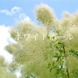 スモークツリー 苗 ホワイトボール 苗木(その他)