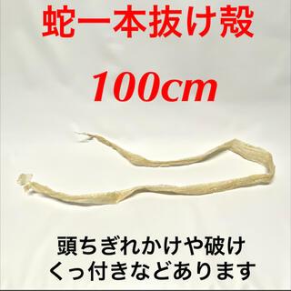 白蛇 蛇抜け殻 脱皮 一本抜け殻 100cm(爬虫類/両生類用品)