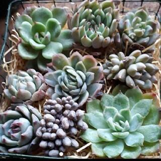 [新春セール]多肉植物 セット 24(その他)