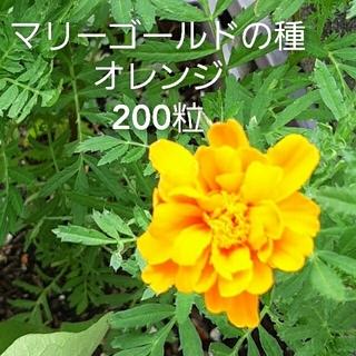 マリーゴールドの種 オレンジ 200粒(その他)