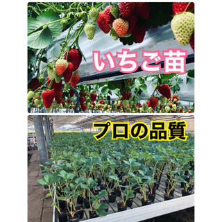 いちご苗 章姫 50株(フルーツ)