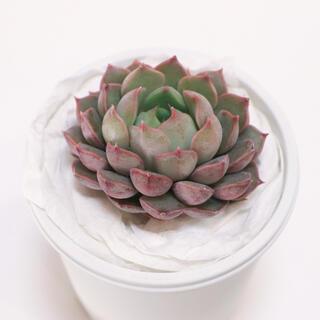 多肉植物 韓国苗 ピンクステラ/Pink stella(その他)