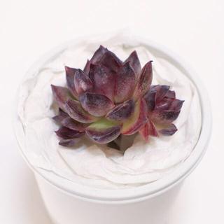 多肉植物 韓国苗 ブラックローズhybrid/Black Rose hybrid(その他)