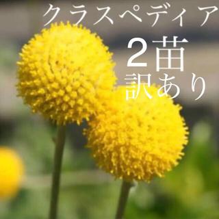 ラスト‼️訳あり♡クラスペディア♡2苗(ドライフラワー)