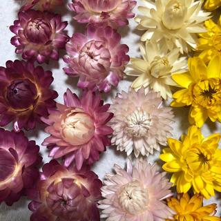 ドライフラワー 花材 ヘリクリサム 貝細工(ドライフラワー)