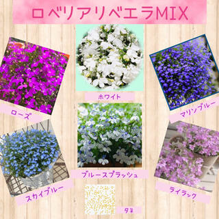 チョウを思わせる小花が可愛い♡『ロベリアリベエラMIX』花の種50粒(その他)