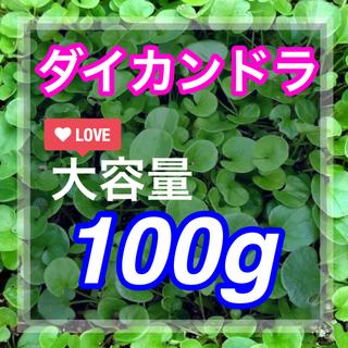 【最安値】ディコンドラ、ダイカンドラ100g種子。お洒落なグランドカバー、芝生へ(その他)