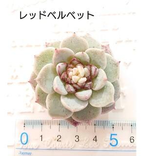 エケベリア レッドベルベット 多肉植物 韓国苗 カット苗(その他)