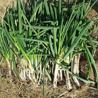 無農薬、白ねぎ約5kg120サイズ(野菜)